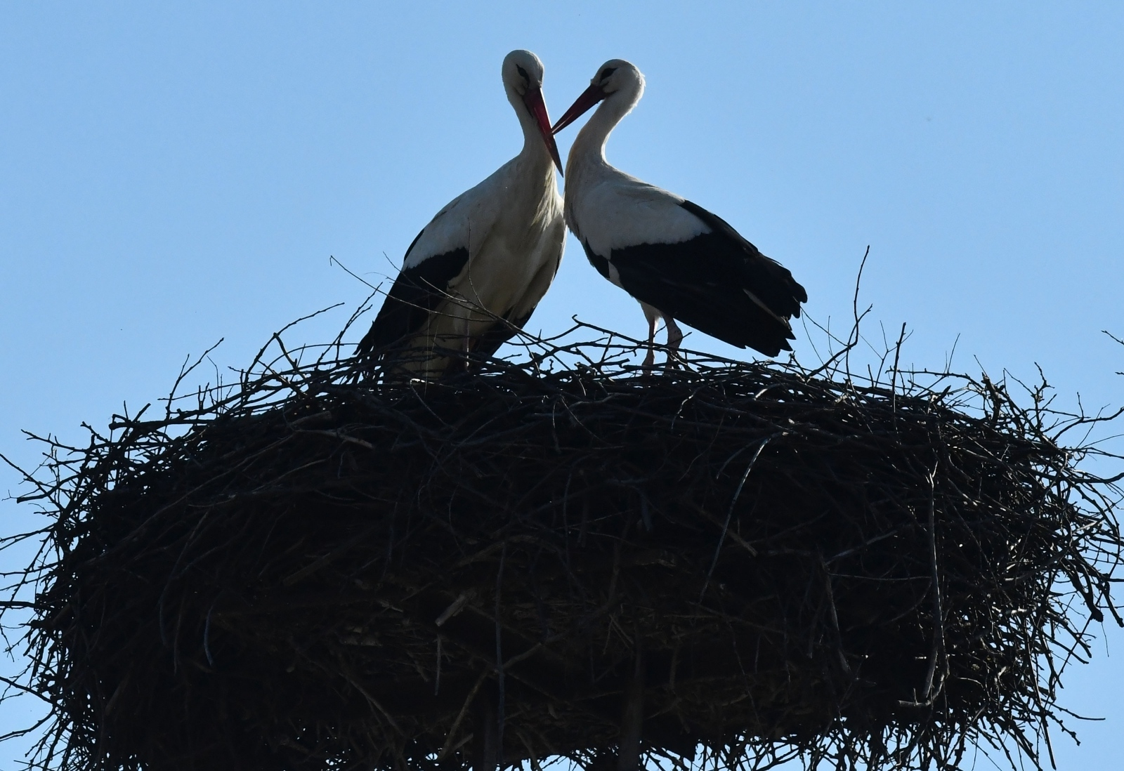 VIDEO: Rode putuju unatoč mjerama izolacije, a Malena slomljenog krila sama gradi svoje gnijezdo